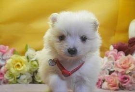ポメラニアンの子犬(ID:1246711713)の1枚目の写真/更新日:2017-03-31