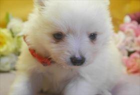 ポメラニアンの子犬(ID:1246711713)の2枚目の写真/更新日:2017-03-31