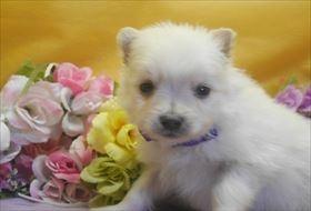 ポメラニアンの子犬(ID:1246711713)の3枚目の写真/更新日:2017-03-31