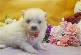 ポメラニアンの子犬(ID:1246711714)の1枚目の写真/更新日:2017-03-31