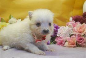 ポメラニアンの子犬(ID:1246711714)の2枚目の写真/更新日:2017-03-31