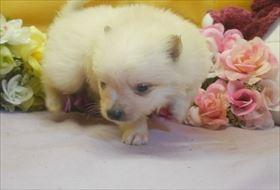 ポメラニアンの子犬(ID:1246711715)の2枚目の写真/更新日:2017-03-31