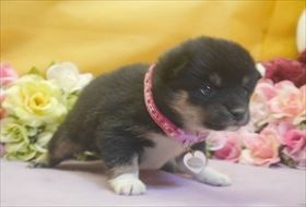 柴犬の子犬(ID:1246711716)の2枚目の写真/更新日:2017-04-13