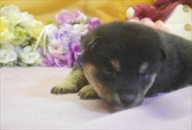柴犬の子犬(ID:1246711717)の2枚目の写真/更新日:2017-04-13