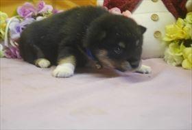 柴犬の子犬(ID:1246711718)の4枚目の写真/更新日:2017-04-13