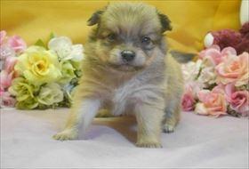 ポメラニアンの子犬(ID:1246711719)の1枚目の写真/更新日:2017-04-17