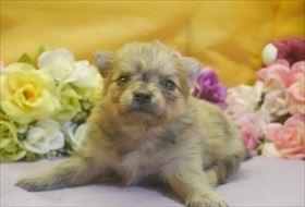 ポメラニアンの子犬(ID:1246711720)の1枚目の写真/更新日:2017-04-17