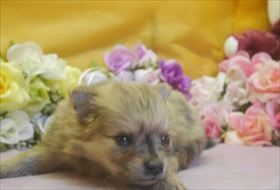 ポメラニアンの子犬(ID:1246711720)の2枚目の写真/更新日:2017-04-17