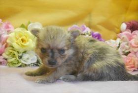 ポメラニアンの子犬(ID:1246711720)の3枚目の写真/更新日:2017-04-17