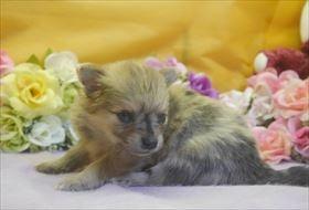ポメラニアンの子犬(ID:1246711720)の4枚目の写真/更新日:2017-04-17