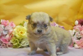 ポメラニアンの子犬(ID:1246711721)の1枚目の写真/更新日:2017-04-17