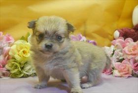 ポメラニアンの子犬(ID:1246711721)の2枚目の写真/更新日:2017-04-17