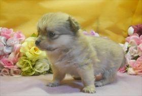 ポメラニアンの子犬(ID:1246711721)の3枚目の写真/更新日:2017-04-17