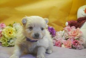 ポメラニアンの子犬(ID:1246711723)の1枚目の写真/更新日:2017-04-20