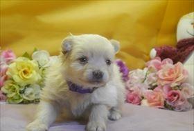 ポメラニアンの子犬(ID:1246711723)の2枚目の写真/更新日:2017-04-20