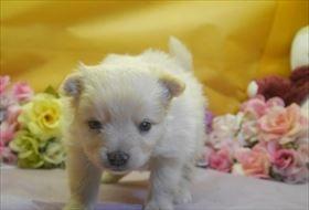 ポメラニアンの子犬(ID:1246711723)の3枚目の写真/更新日:2017-04-20