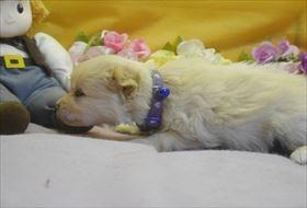 ポメラニアンの子犬(ID:1246711724)の2枚目の写真/更新日:2017-04-20