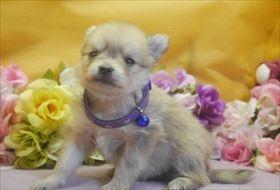 ポメラニアンの子犬(ID:1246711725)の1枚目の写真/更新日:2017-04-20