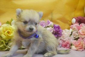 ポメラニアンの子犬(ID:1246711725)の2枚目の写真/更新日:2017-04-20