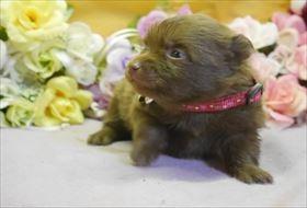 ポメラニアンの子犬(ID:1246711726)の1枚目の写真/更新日:2017-04-20