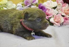 ポメラニアンの子犬(ID:1246711726)の2枚目の写真/更新日:2017-04-20