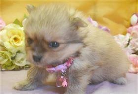 ポメラニアンの子犬(ID:1246711727)の1枚目の写真/更新日:2017-04-28