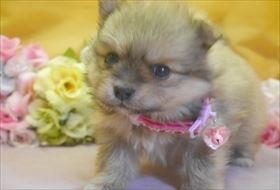 ポメラニアンの子犬(ID:1246711727)の2枚目の写真/更新日:2017-04-28