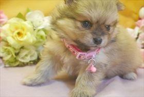 ポメラニアンの子犬(ID:1246711727)の3枚目の写真/更新日:2017-04-28