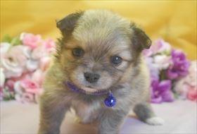ポメラニアンの子犬(ID:1246711728)の1枚目の写真/更新日:2017-04-28