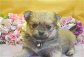 ポメラニアンの子犬(ID:1246711729)の2枚目の写真/更新日:2017-04-28