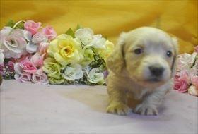 カニンヘンダックスフンド(ロング)の子犬(ID:1246711730)の1枚目の写真/更新日:2017-05-07