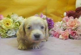 カニンヘンダックスフンド(ロング)の子犬(ID:1246711730)の2枚目の写真/更新日:2017-05-07