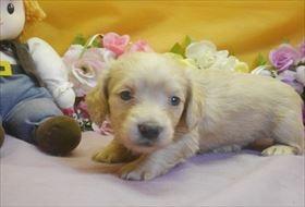 カニンヘンダックスフンド(ロング)の子犬(ID:1246711730)の3枚目の写真/更新日:2017-05-07