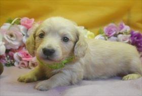 カニンヘンダックスフンド(ロング)の子犬(ID:1246711731)の1枚目の写真/更新日:2017-05-07