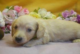 カニンヘンダックスフンド(ロング)の子犬(ID:1246711731)の2枚目の写真/更新日:2017-05-07