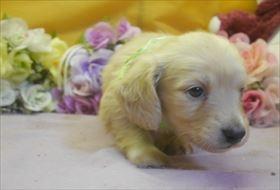 カニンヘンダックスフンド(ロング)の子犬(ID:1246711731)の3枚目の写真/更新日:2017-05-07