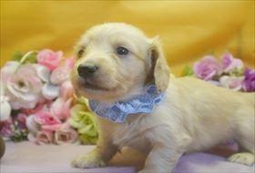 カニンヘンダックスフンド(ロング)の子犬(ID:1246711732)の1枚目の写真/更新日:2017-05-07
