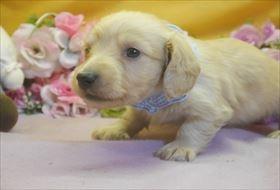 カニンヘンダックスフンド(ロング)の子犬(ID:1246711732)の2枚目の写真/更新日:2017-05-07