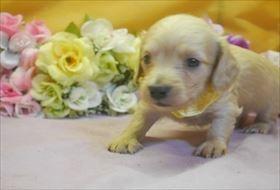カニンヘンダックスフンド(ロング)の子犬(ID:1246711733)の1枚目の写真/更新日:2017-05-07