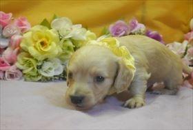 カニンヘンダックスフンド(ロング)の子犬(ID:1246711733)の2枚目の写真/更新日:2017-05-07