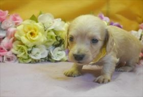 カニンヘンダックスフンド(ロング)の子犬(ID:1246711733)の3枚目の写真/更新日:2017-05-07
