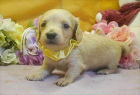 カニンヘンダックスフンド(ロング)の子犬(ID:1246711733)の4枚目の写真/更新日:2017-05-07