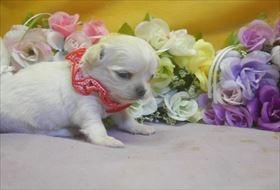 チワワ(ロング)の子犬(ID:1246711734)の3枚目の写真/更新日:2017-05-11