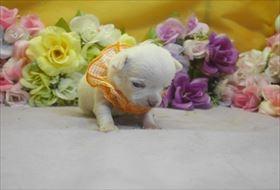チワワ(ロング)の子犬(ID:1246711735)の1枚目の写真/更新日:2017-05-11