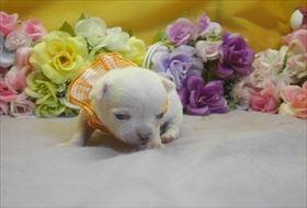 チワワ(ロング)の子犬(ID:1246711735)の3枚目の写真/更新日:2017-05-11
