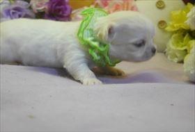 チワワ(ロング)の子犬(ID:1246711736)の2枚目の写真/更新日:2017-05-11