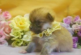 ポメラニアンの子犬(ID:1246711737)の1枚目の写真/更新日:2017-07-03