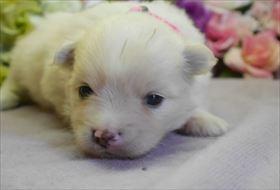 ポメラニアンの子犬(ID:1246711738)の1枚目の写真/更新日:2017-07-03