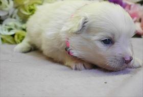 ポメラニアンの子犬(ID:1246711738)の2枚目の写真/更新日:2018-06-04