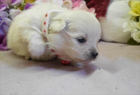 ポメラニアンの子犬(ID:1246711739)の1枚目の写真/更新日:2018-06-04